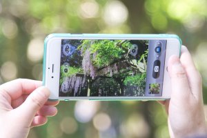 Many people were capturing the wisteria's beauty on their phones