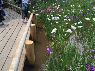Hundreds of varieties of irises.