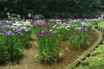 สวนไอริสที่ศาลเจ้าเมจิ โตเกียว