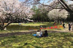 Japanese park during sakura season