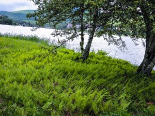 Bạch dương và dương xỉ trên bờ hồ