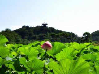 三重塔を見上げるように咲く蓮の花