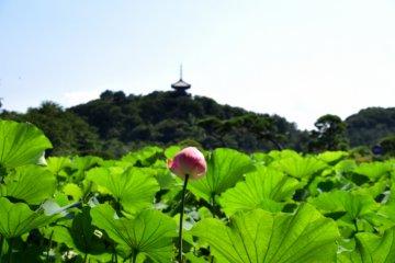 산케이엔(三溪園)의 연꽃