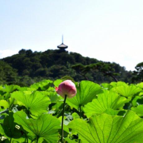 Lotus Flowers at Sankeien Garden