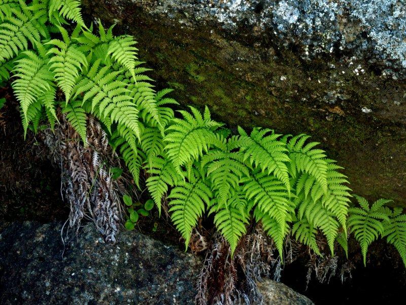 Нежный папоротник, кажется, будто растет прямо из скалы