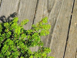 A low growing shrub
