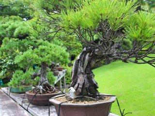 Bonsai trees collection