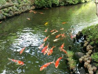 Beautiful pond full of koi fish