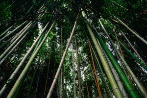 Arashiyama Bamboo Park, Kyoto