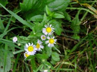 Một loại hoa nhỏ giống hoa cúc