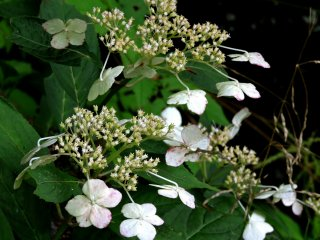 A kind of hydrangea, only blooming in August because of the high altitude and cool temperatures