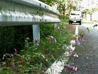 Flowers spilling over the side of the road