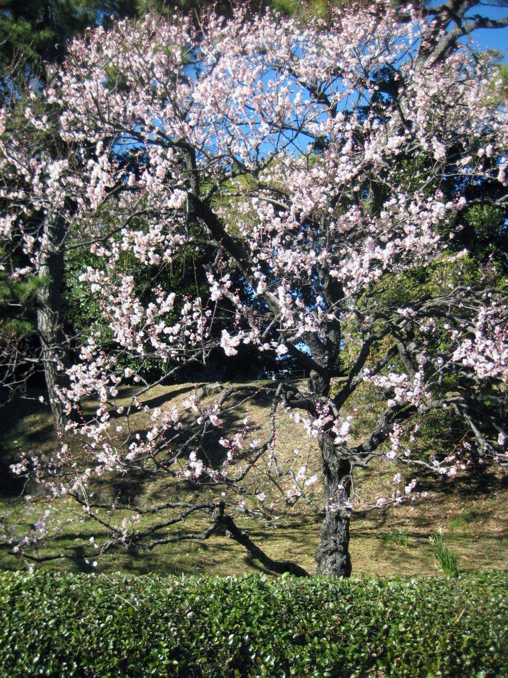 Японская слива в январе