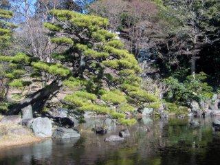 Вечнозеленая хвоя