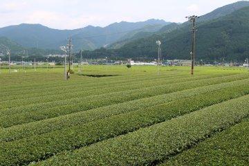 深綠茶房的茶園