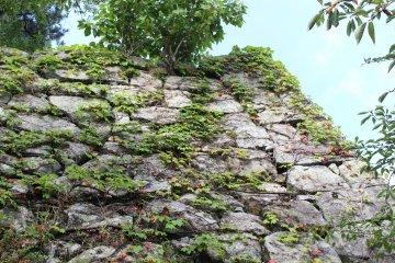 松阪城高大的石牆和攀附在上的植物