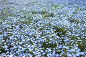 Endless blue fields of nemophila