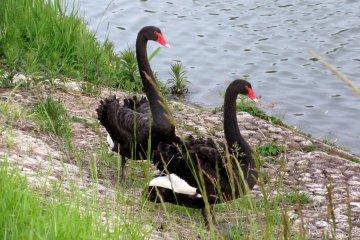 Лебеди на прогулке