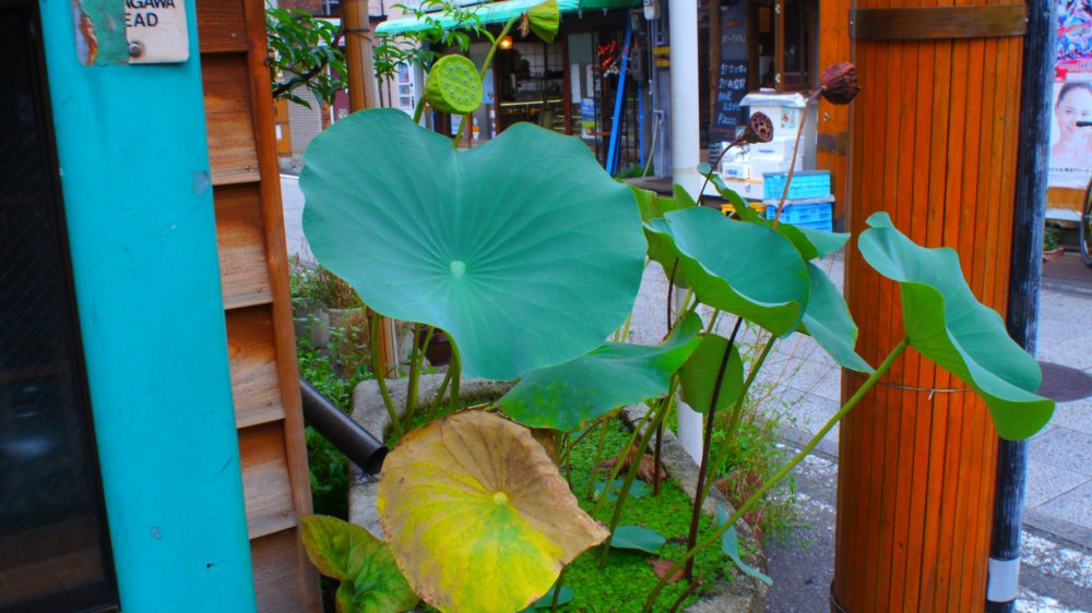 A solitary lotus plant in the heart of the water trade district