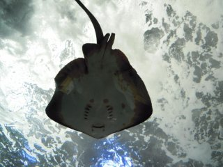 A beautiful sting ray