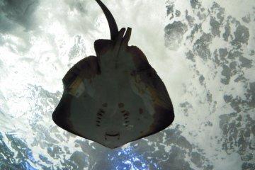 A beautiful sting ray