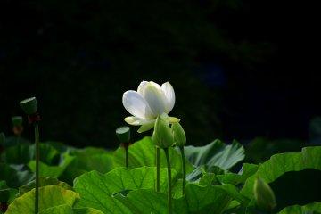 Hoa sen ở đền Hachimangu