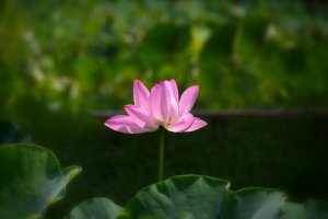 Found a blooming lotus!