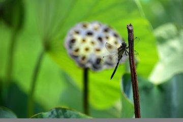Стрекоза предвещает опадание сухой семенной коробочки