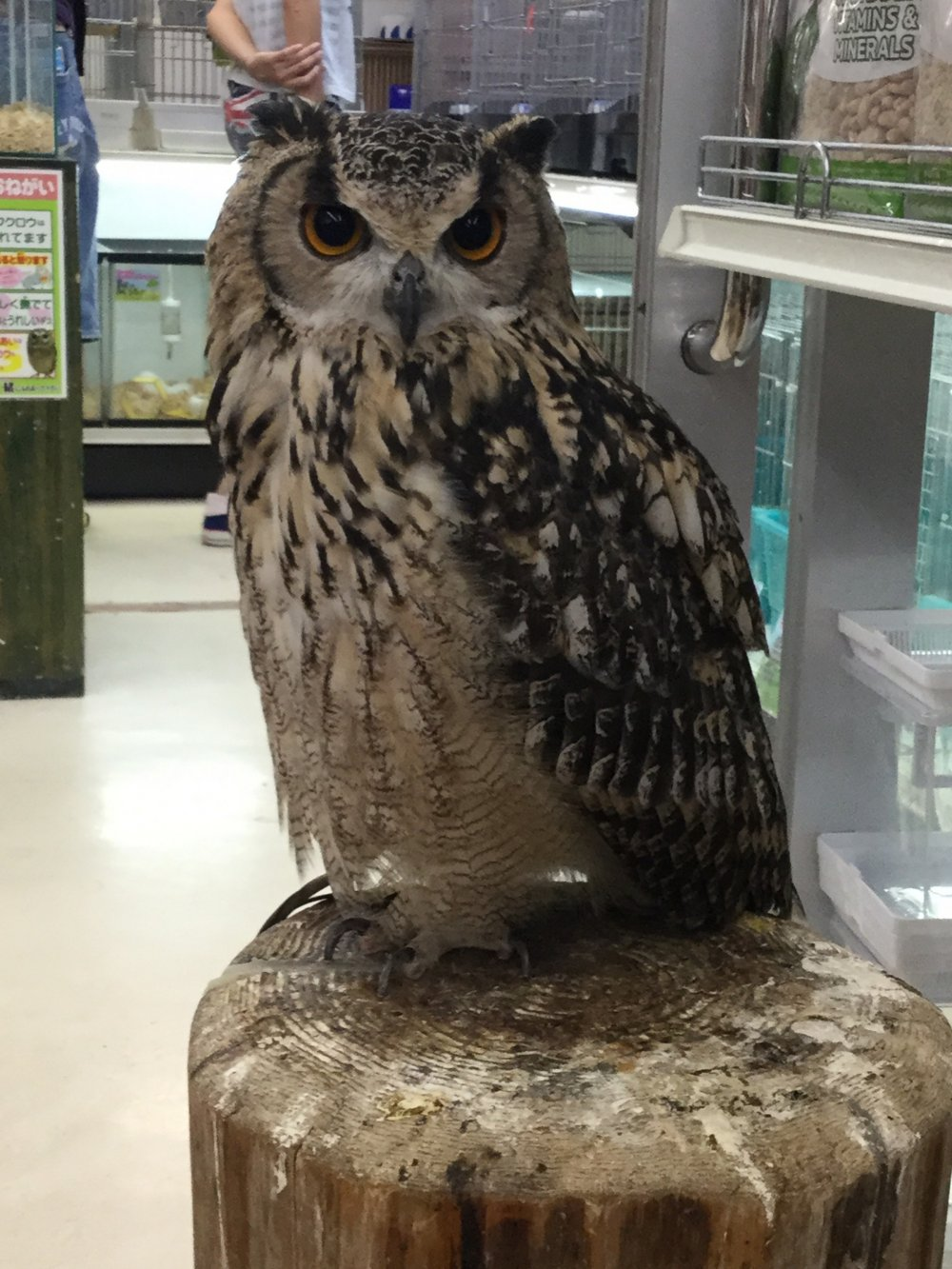 A real live owl for sale