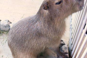 天保山市场动物园内的一只水豚。