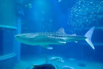 大阪海游馆内的一只鲸鲨。