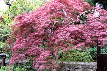 That tree was red color in spring!