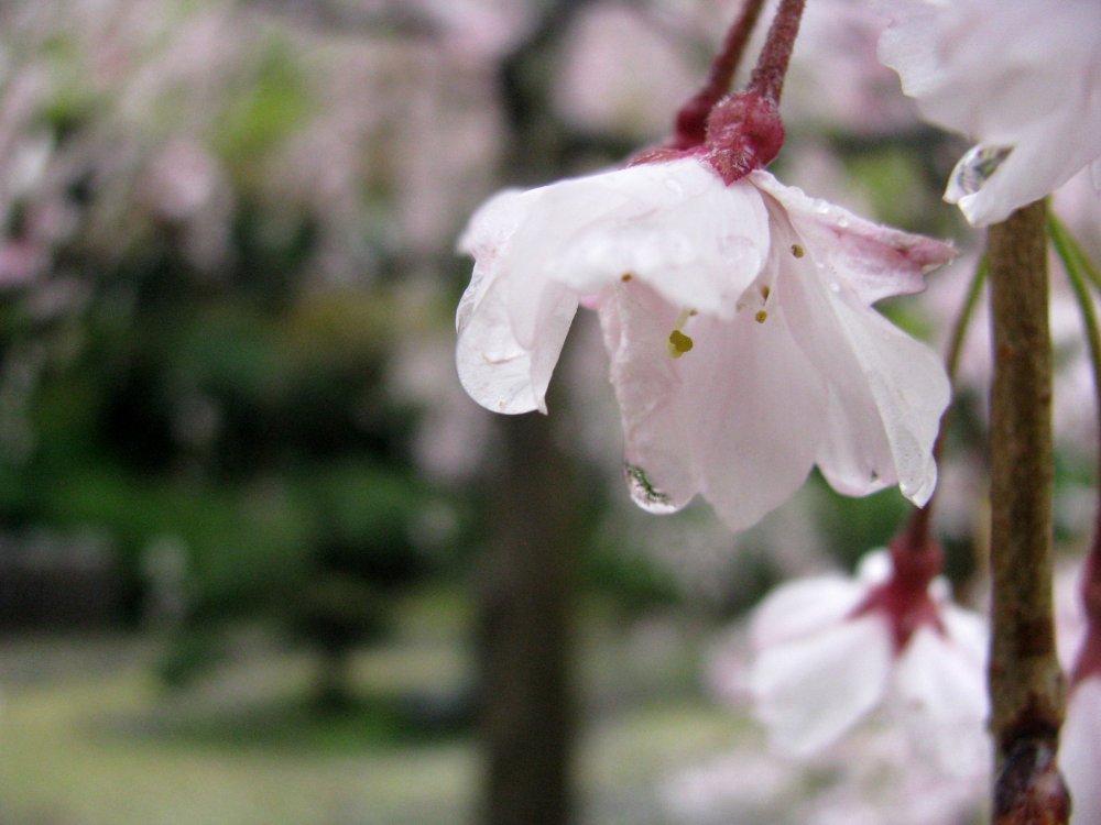 사쿠라 꽃