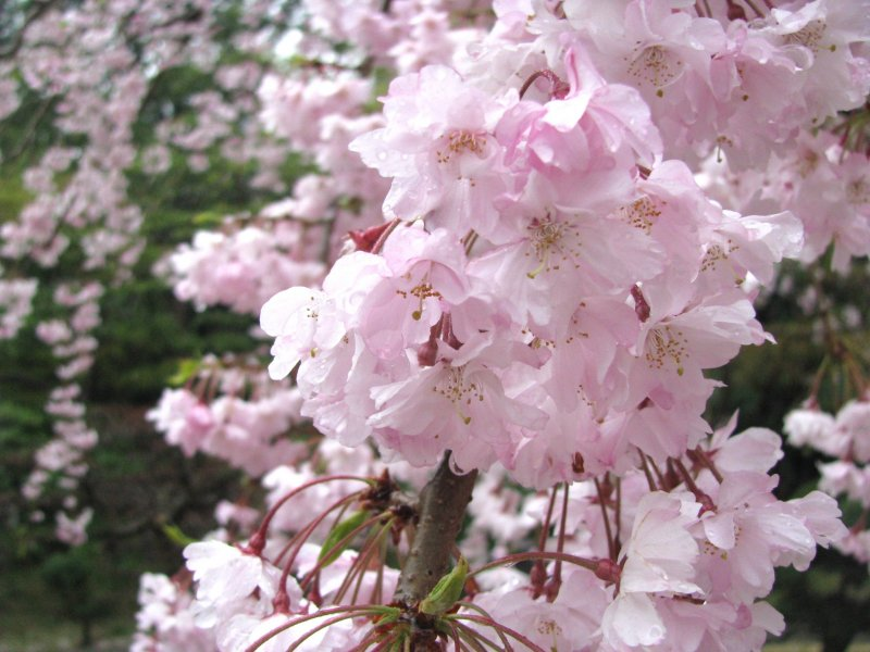Sakura is beautiful even on a rainy day!