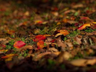 Colourful cherry leaves make for a wonderful contrast on the green grass