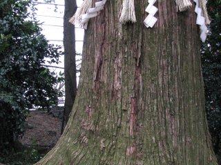 Sacred Shinto pine
