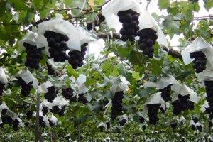 Les raisins sont entourés de papiers blancs pour repousser certains parasites.