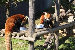 Парк Нисияма и красные панды в Сабаэ