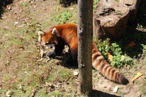 Nishiyama Park and Red Pandas in Sabae