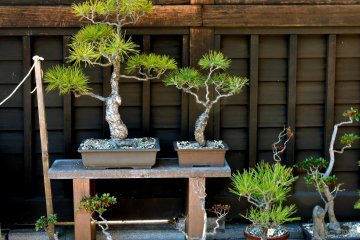 Bonsai pines on display