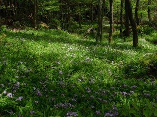 林床を埋めるヒメシャガの花畑 5月