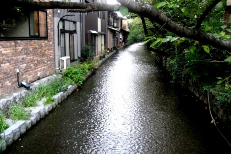 The Weeping Cherry of Kiyamachi