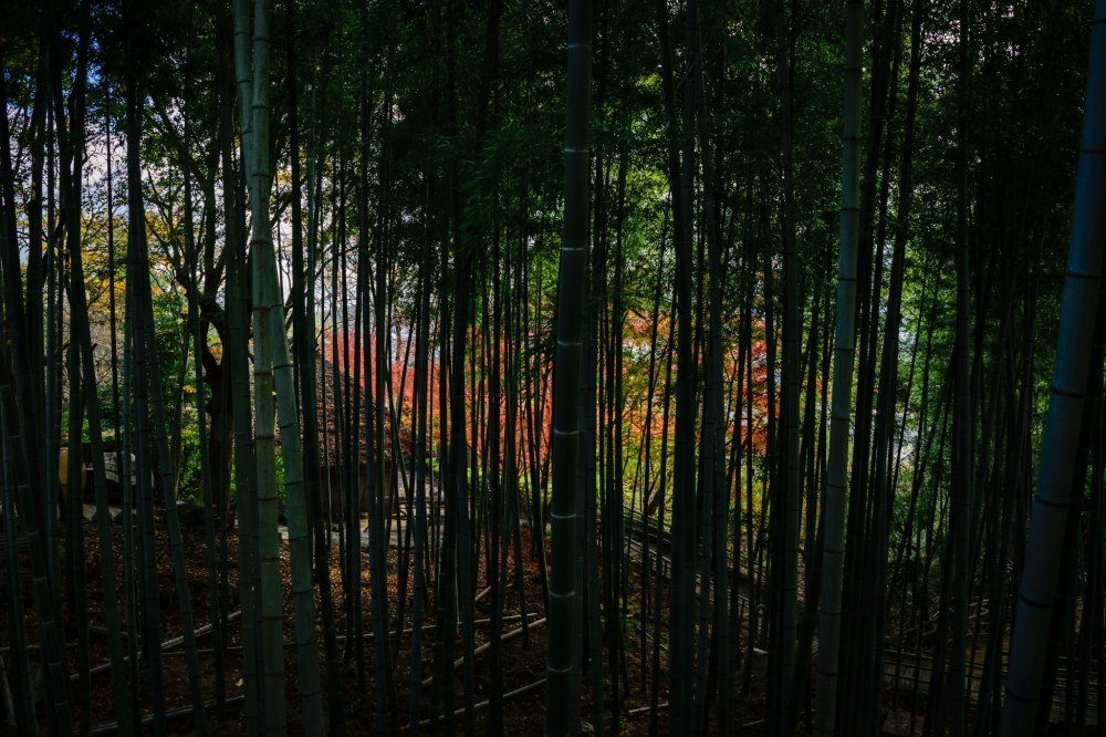 View the autumn leaves through the bamboo forest
