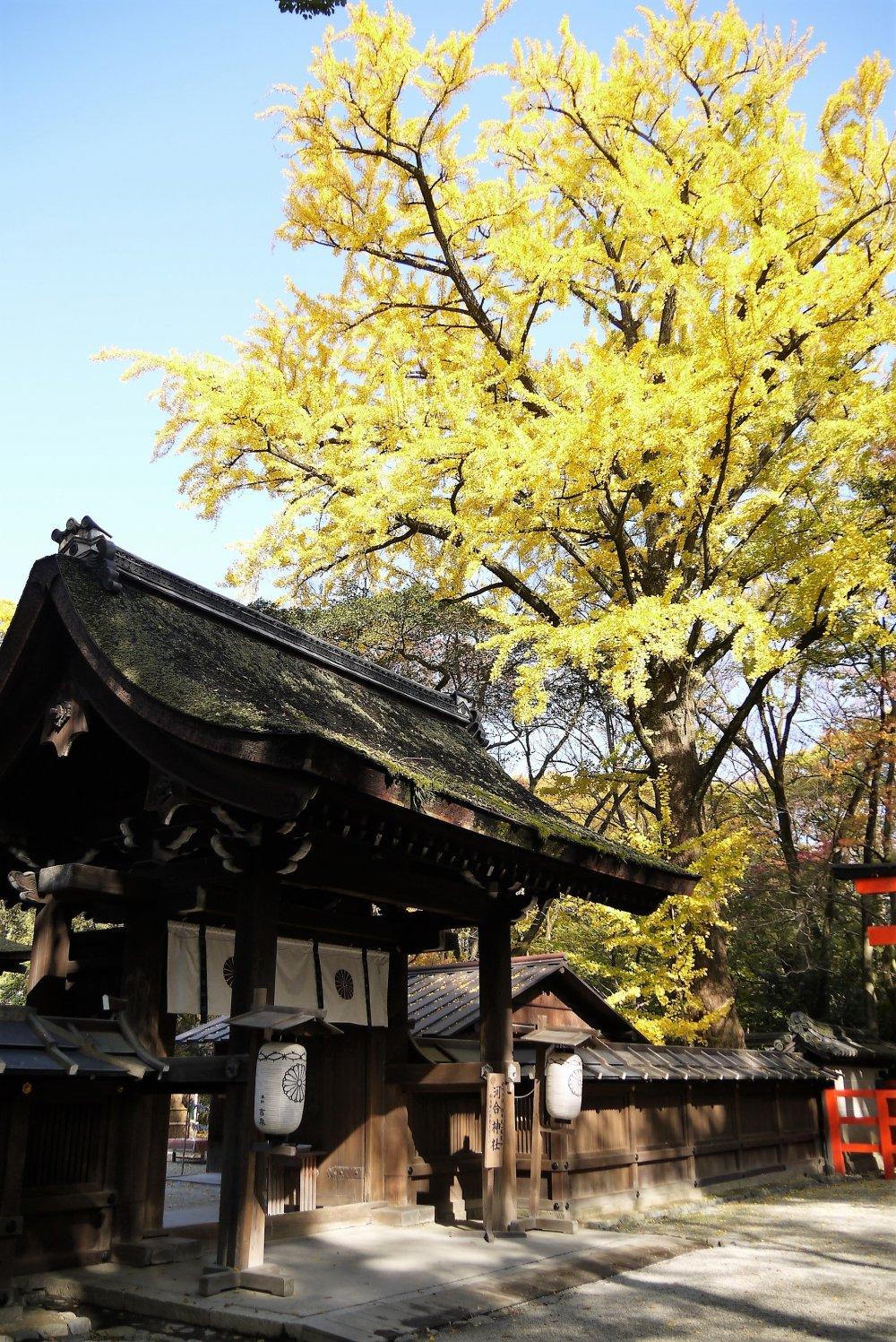 ต้นกิงโกะหรือต้นแปะก้วยตรงประตูทางเข้าศาลเจ้าเปลี่ยนสีเป็นสีเหลืองสวยในฤดูใบไม้ร่วง