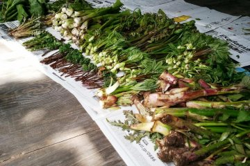 Selection of mountain vegetables that are being used in Dewa Sanzan Shojin Ryori
