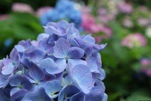 ดอกไฮเดรนเยียพันธ์ macrophylla ดอกไฮเดรนเยียพันธ์ที่เห็นกันบ่อยๆ