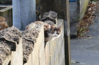เกาะแมวแห่งทะชิโระจิมะ