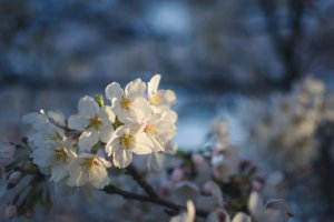 Cherry blossoms glowing in the light of sunset