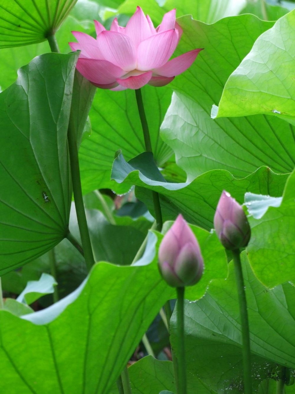 Image Result For How To Start A Lotus Garden