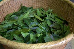 Daun teh segar yang digunakan untuk membuat houjicha.